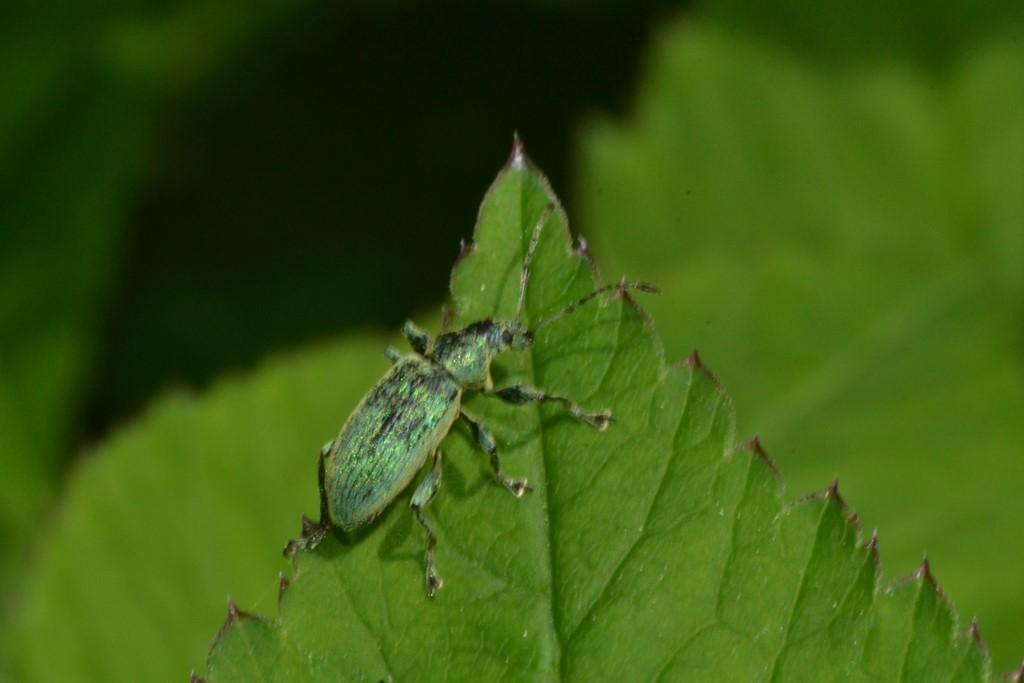 Nældesnudebille (Phyllobius pomaceus)
