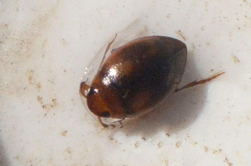 Clemnius decoratus (Clemnius decoratus)