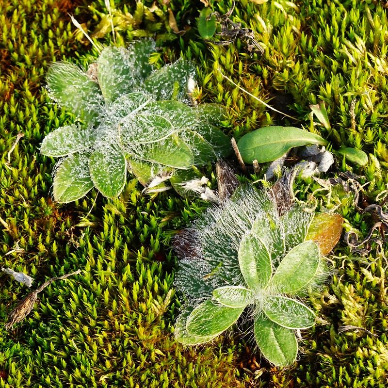 Foto/billede af Klit-Høgeurt (Pilosella peleteriana)