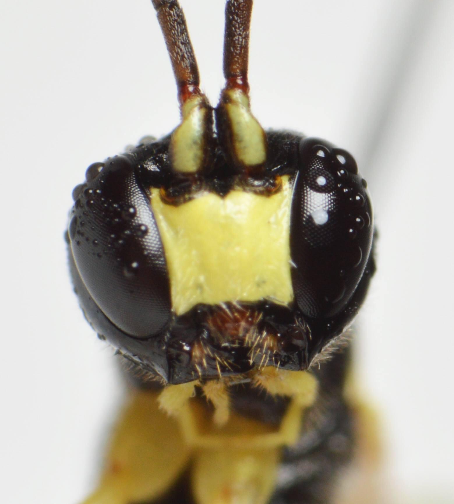 Pseudorhyssa nigricornis