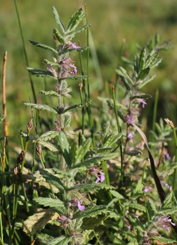 Foto/billede af Løgurt (Teucrium scordium)