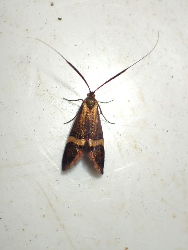 Løvskovslanghornsmøl (Nemophora degeerella)