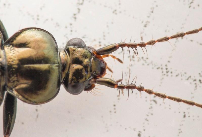 Børsteløber (Loricera pilicornis)