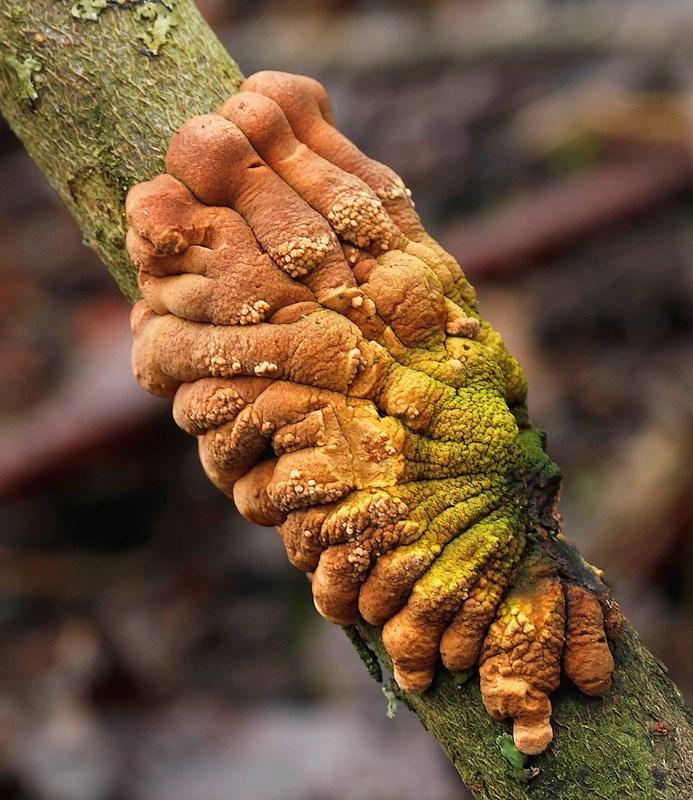 Foto/billede af Pilfinger (Hypocreopsis lichenoides)