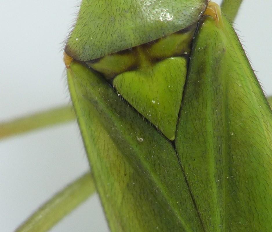 Foto/billede af Calocoris alpestris (Calocoris alpestris)