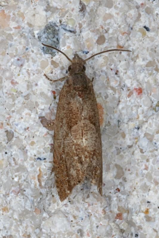 Foto/billede af Dichrorampha sp. (Dichrorampha sp.)