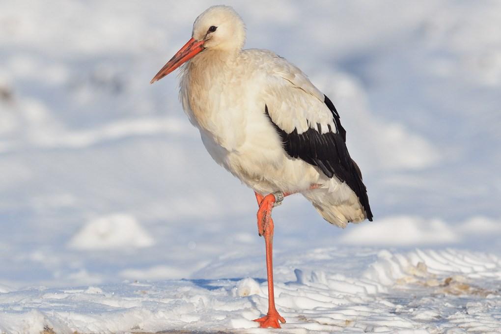 Hvid Stork (Ciconia ciconia)
