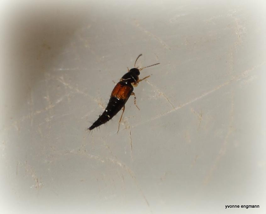 Sortplettet Agerrovbille (Tachyporus hypnorum)