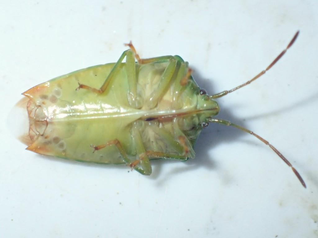 Almindelig Løvtæge (Elasmostethus interstinctus)