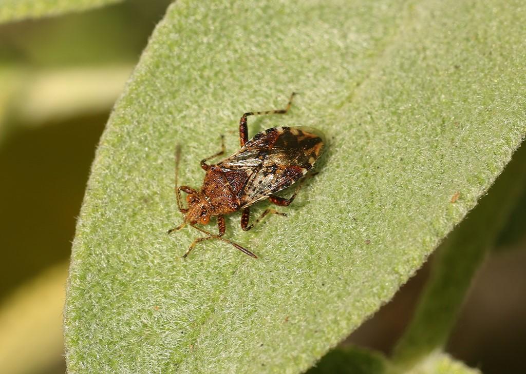 Skovkanttæge (Rhopalus subrufus)