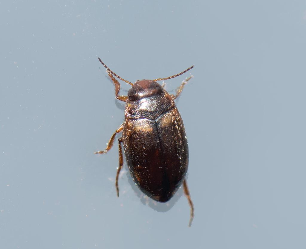 Hydroporus incognitus (Hydroporus incognitus)