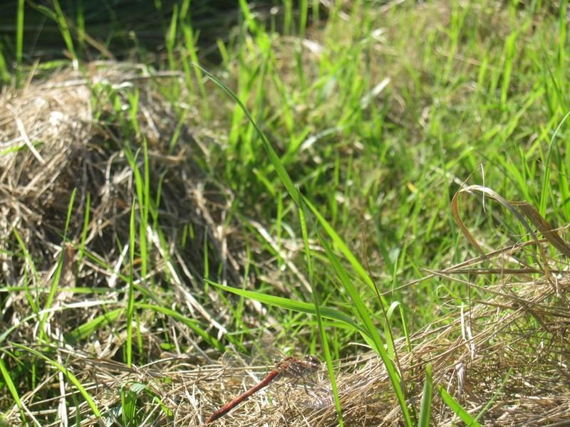 Foto/billede af Hedelibel sp. (Sympetrum sp.)