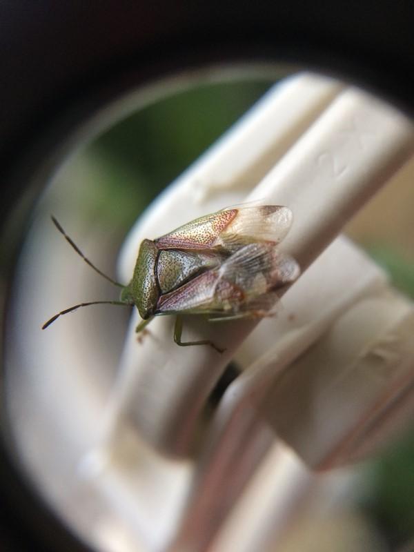 Elasmostethus sp. (Elasmostethus sp.)