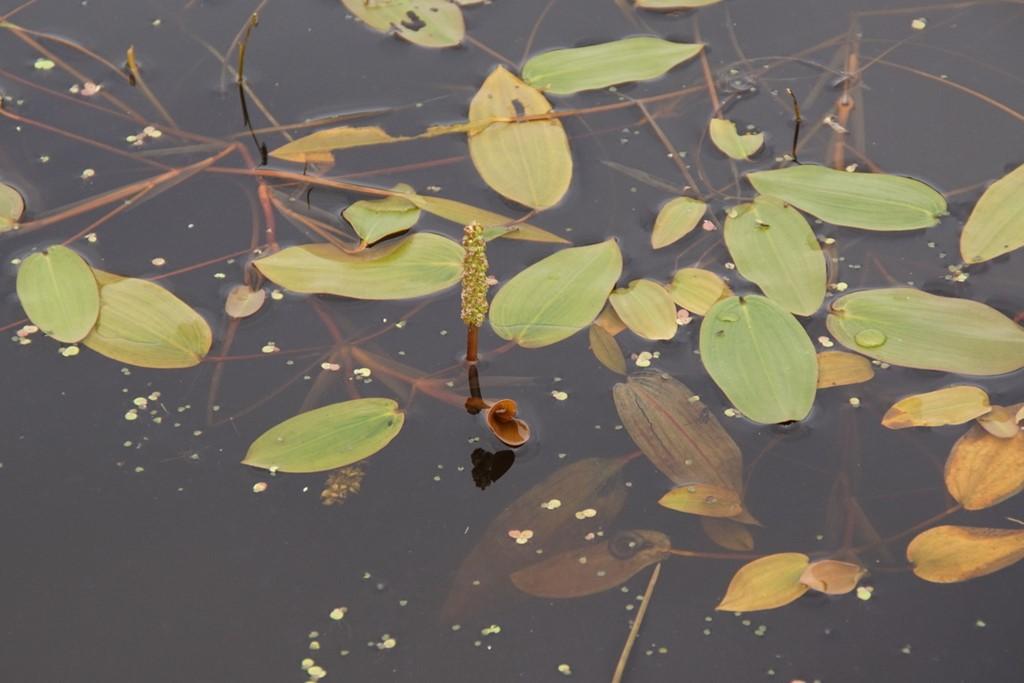 Svømmende Vandaks (Potamogeton natans)