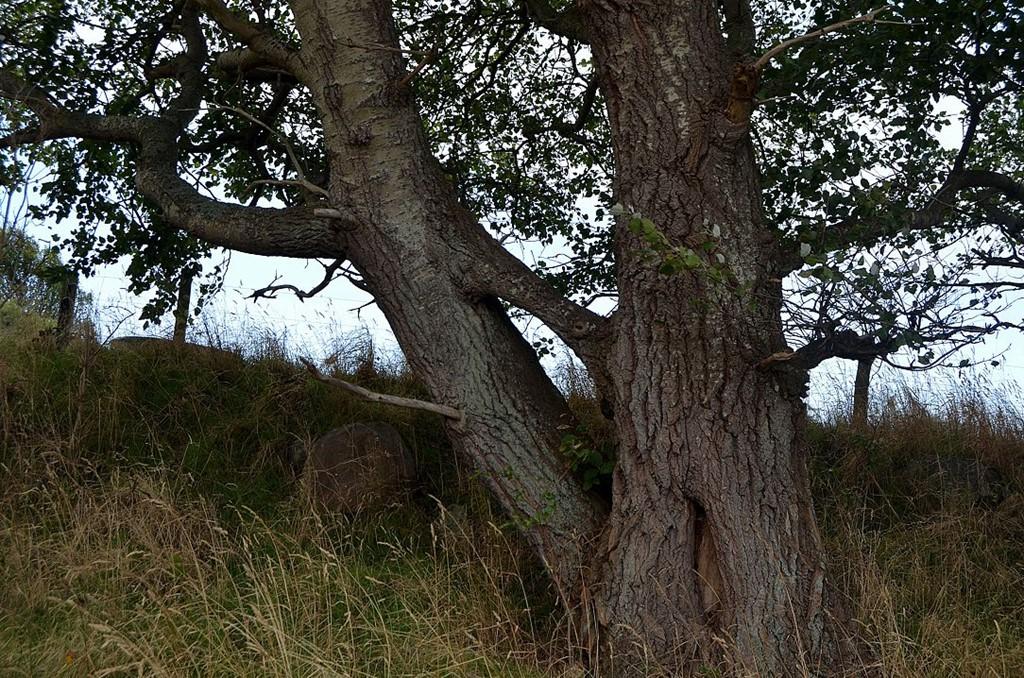 Foto/billede af Grå-Poppel (Populus x canescens)