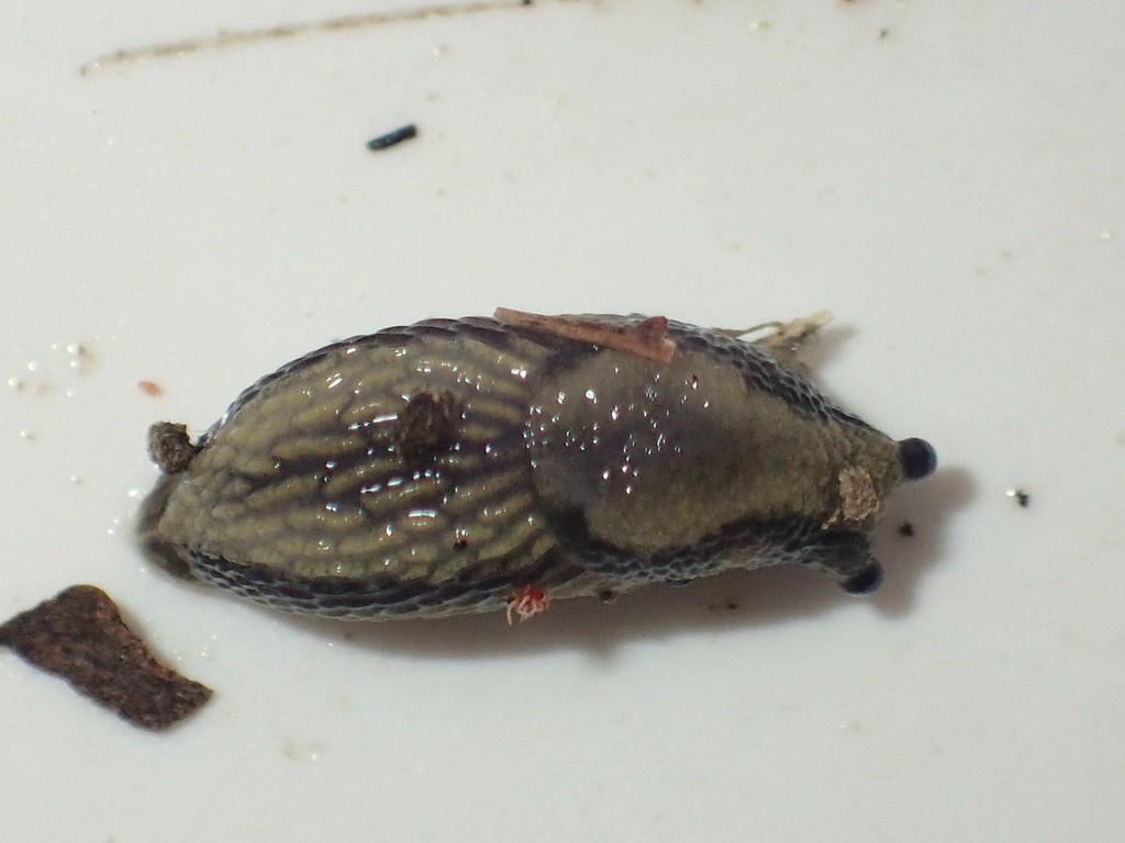 Foto/billede af Hvidsidesnegl (Arion silvaticus)