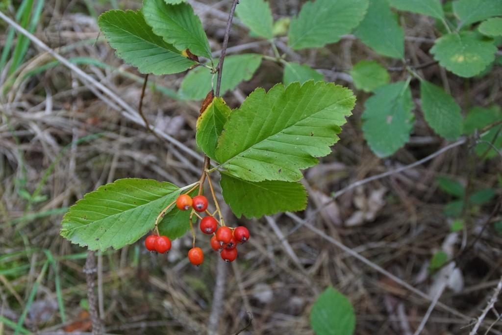 Pyrenæisk Røn (Sorbus mougeotii)