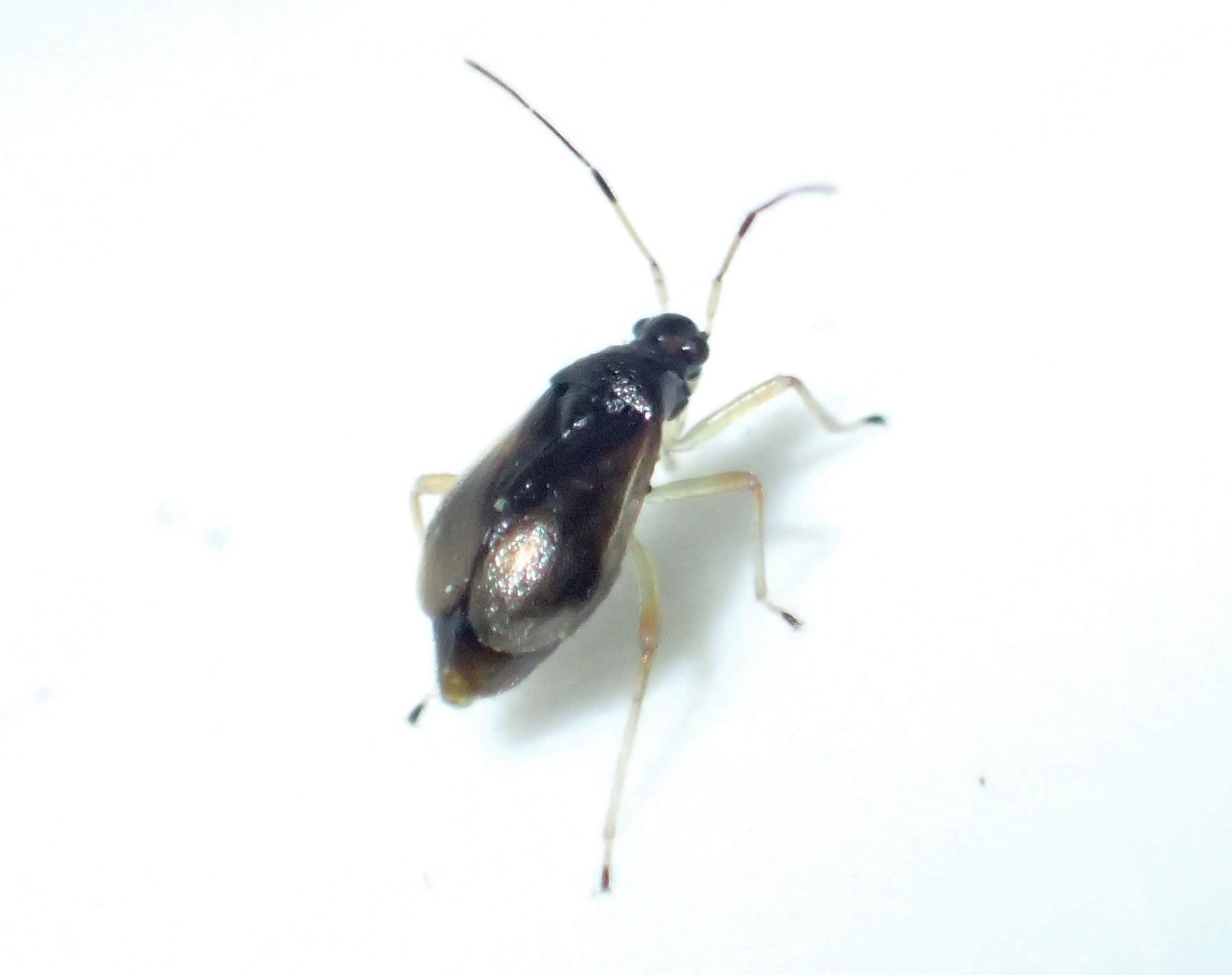 Foto/billede af Bleg Bregnetæge (Bryocoris pteridis)