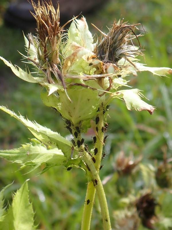 Kål-Tidsel (Cirsium oleraceum)