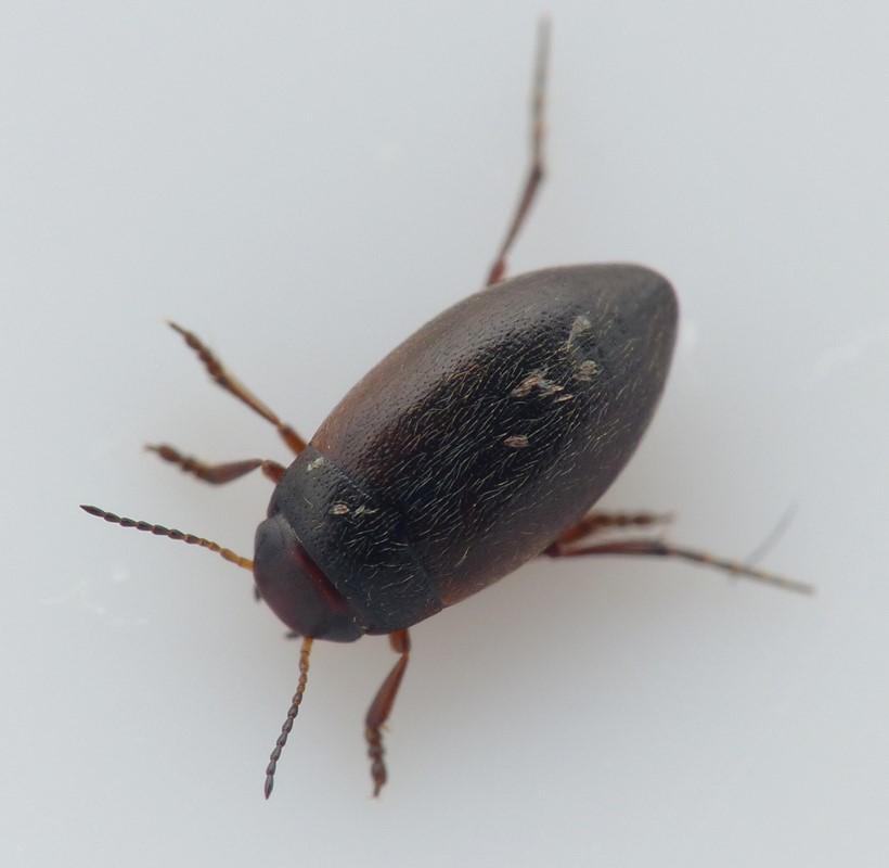Hydroporus umbrosus (Hydroporus umbrosus)