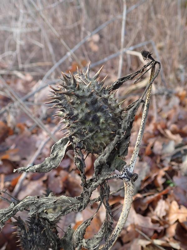 Foto/billede af Pigæble (Datura stramonium)