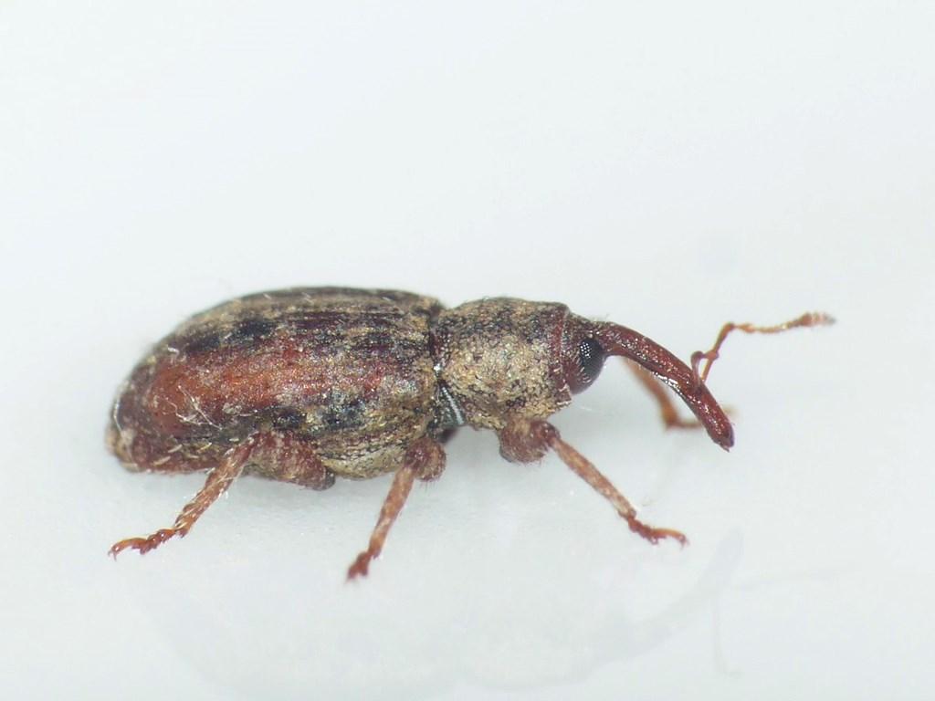 Pseudostyphlus pillumus