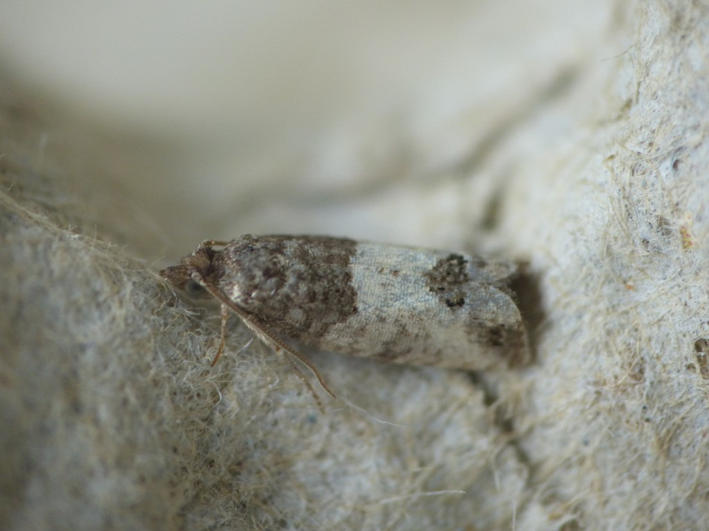 Foto/billede af Rød Knopvikler (Spilonota ocellana)