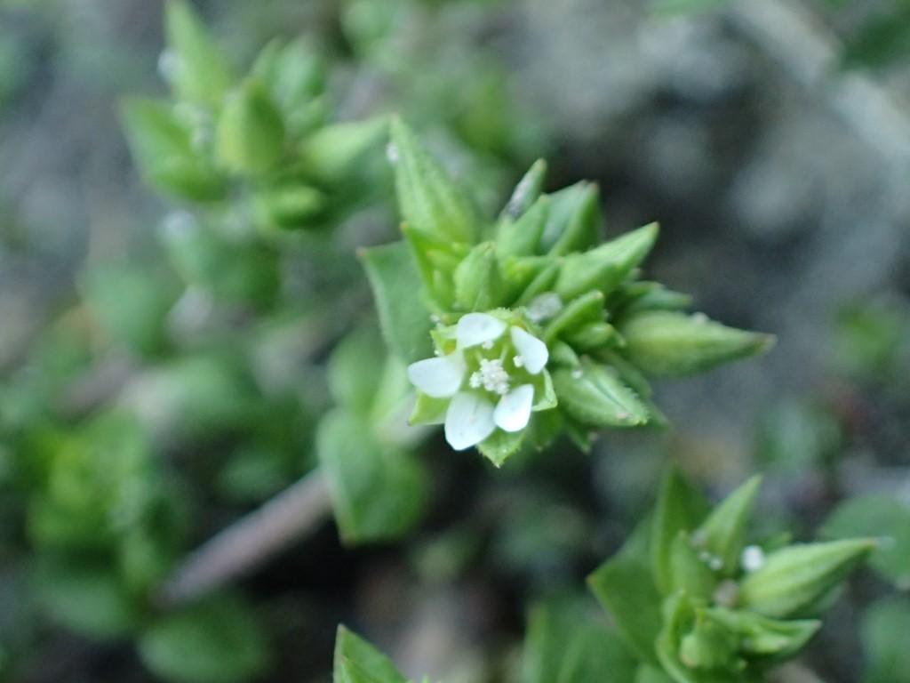 Foto/billede af Almindelig Markarve (Arenaria serpyllifolia ssp. serpyllifolia)