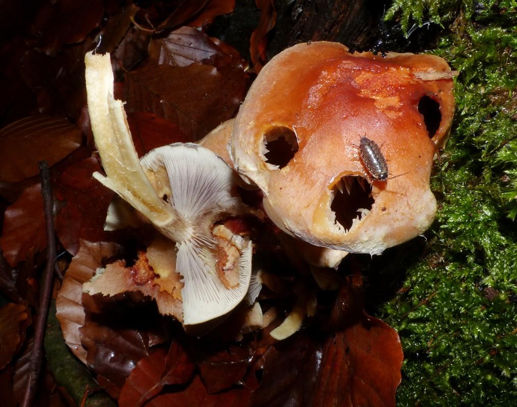 Foto/billede af Teglrød Svovlhat (Hypholoma lateritium)