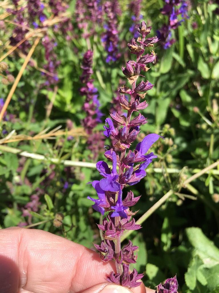 Eng-Salvie (Salvia pratensis)