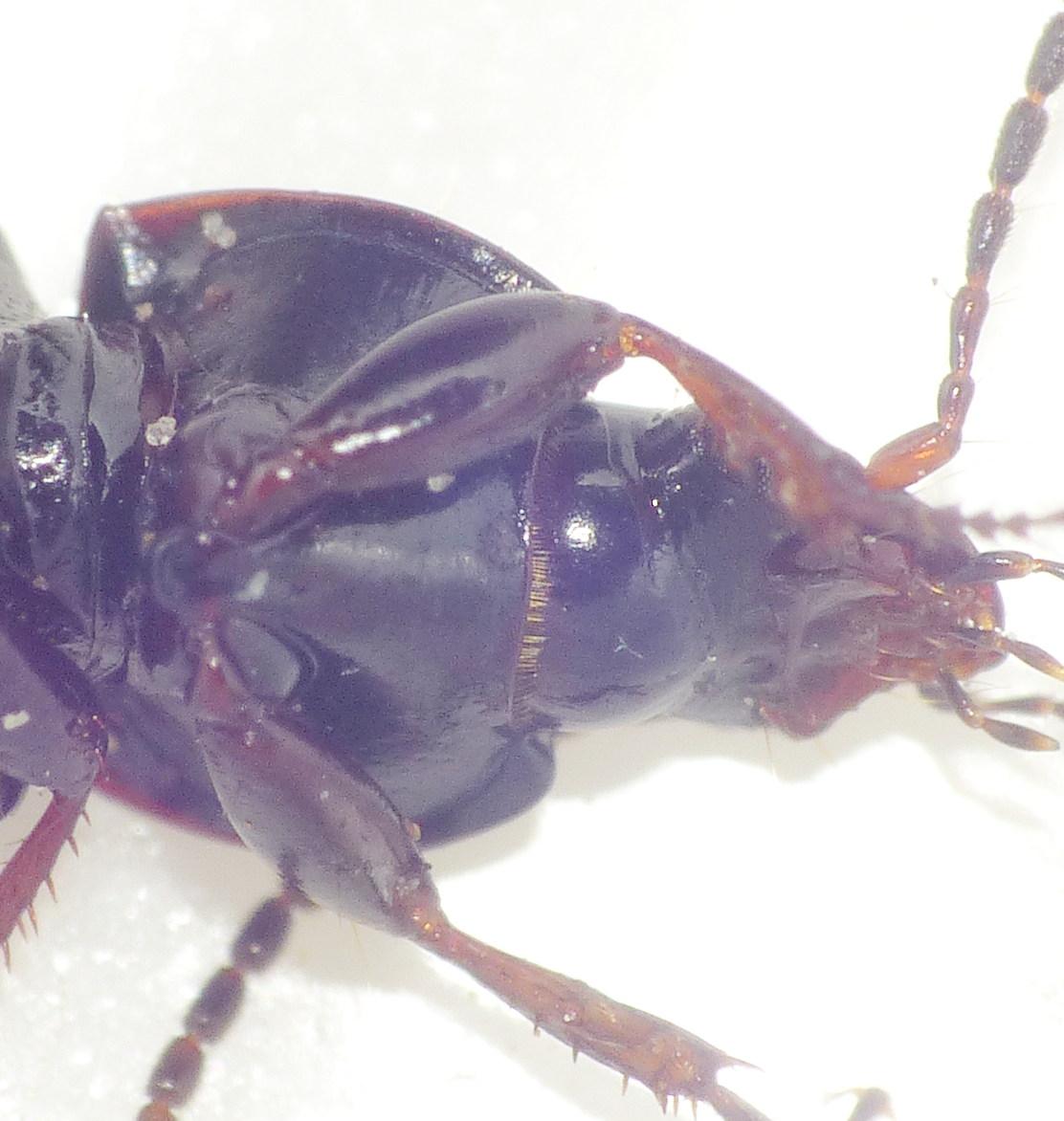 Brunbenet Jordløber (Pterostichus diligens)