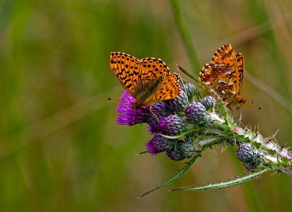 Foto/billede af Moseperlemorsommerfugl (Boloria aquilonaris)