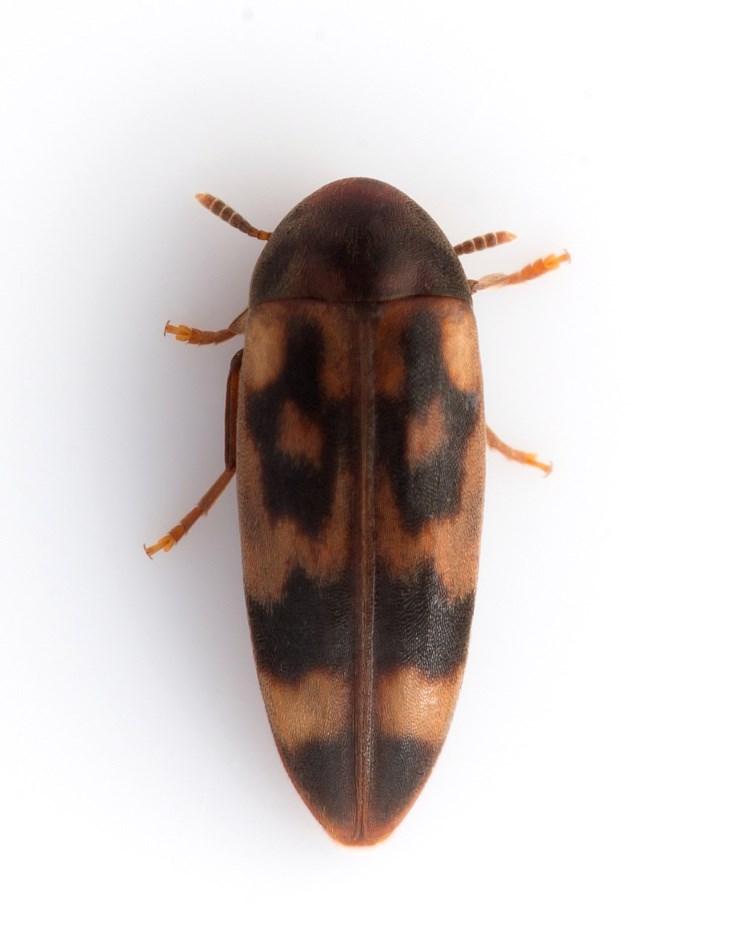 Foto/billede af Orchesia undulata (Orchesia undulata)