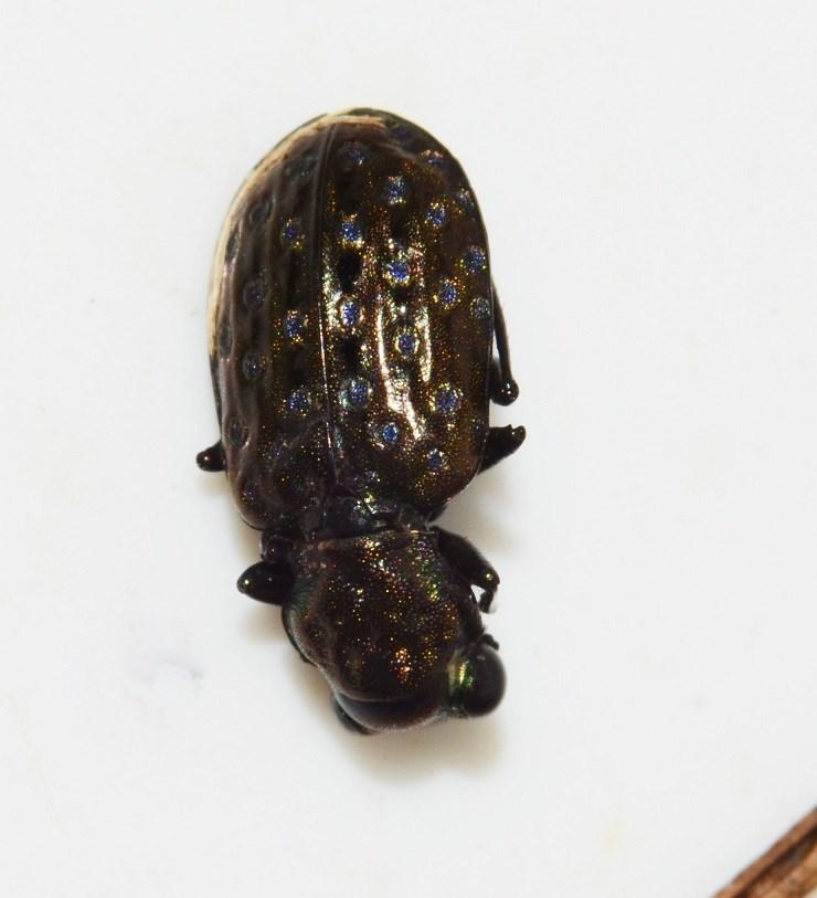 Foto/billede af Sortbenet Øjenløber (Elaphrus uliginosus)
