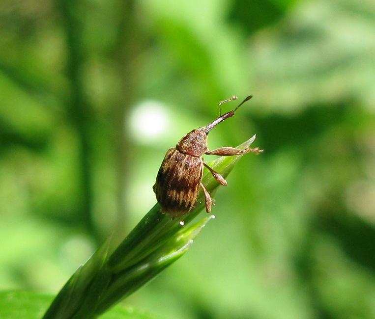 Foto/billede af Kirsebærsnudebille (Furcipus rectirostris)