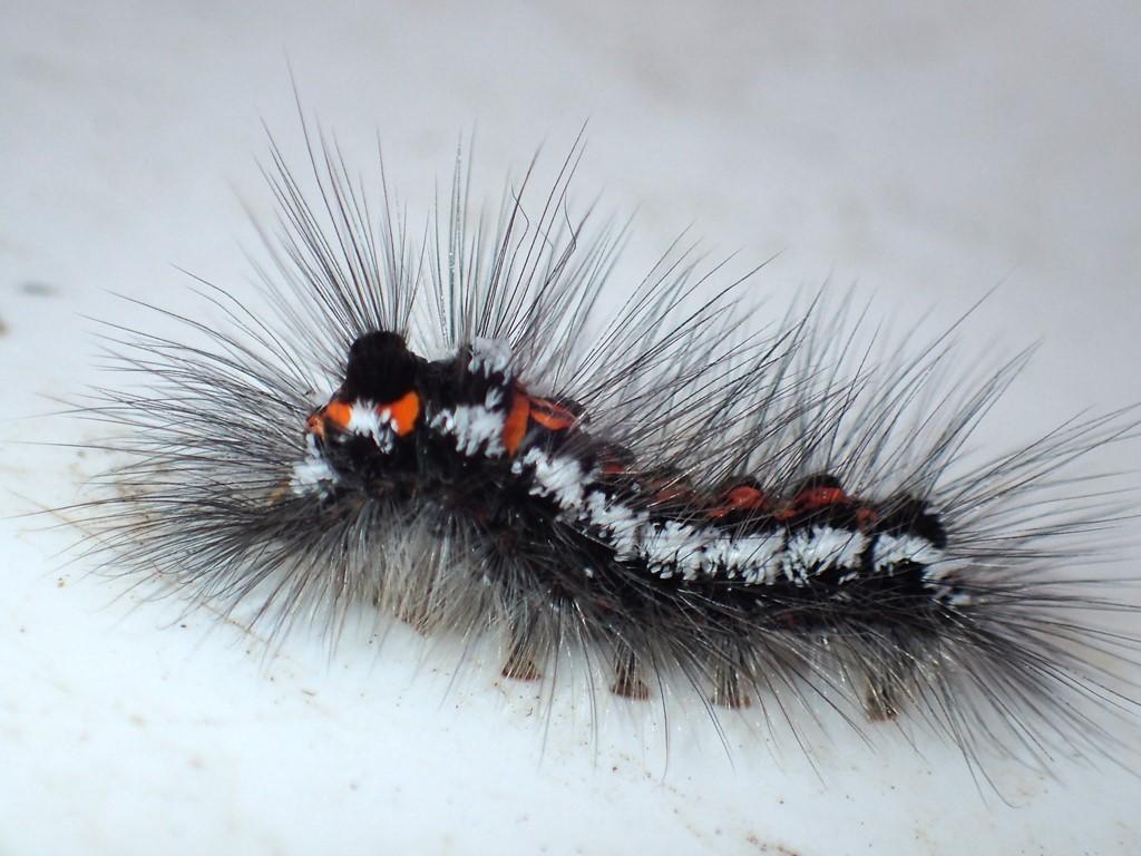 Gulhale (Euproctis similis)
