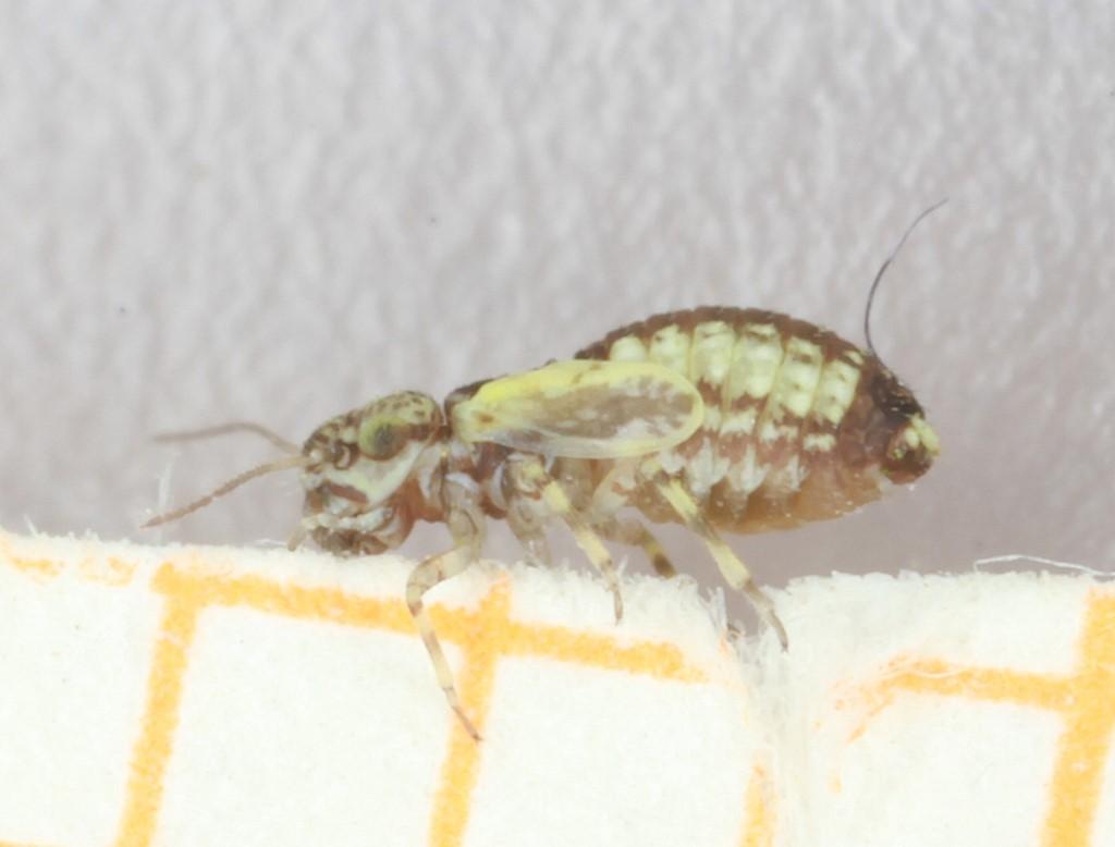 Foto/billede af Philotarsus parviceps (Philotarsus parviceps)