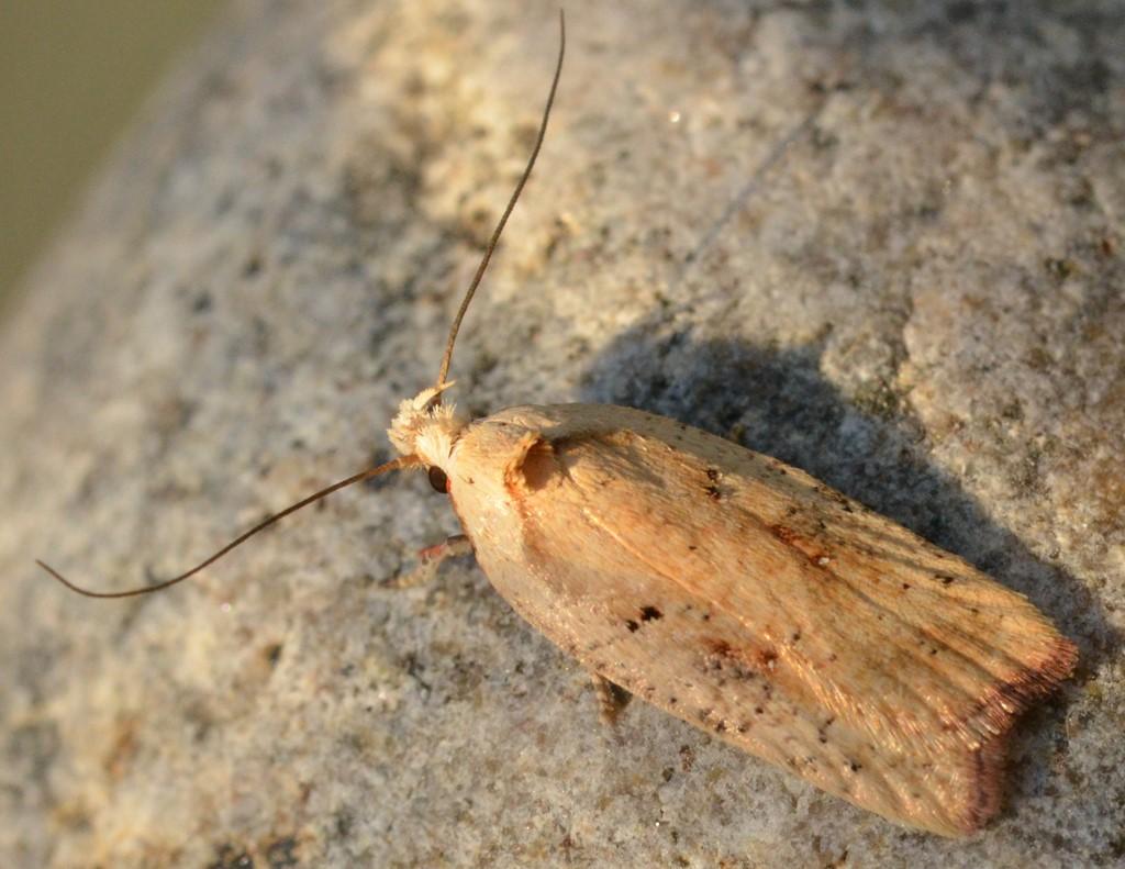 Foto/billede af Agonopterix nervosa (Agonopterix nervosa)
