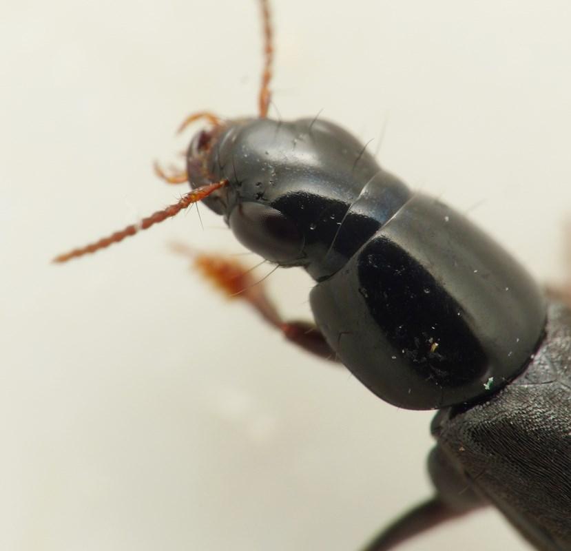 Quedius levicollis (Quedius levicollis)
