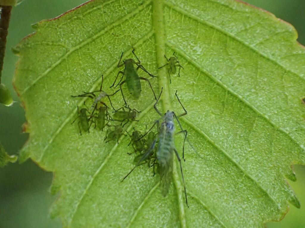 Stor Vortebirkebladlus (Euceraphis betulae)