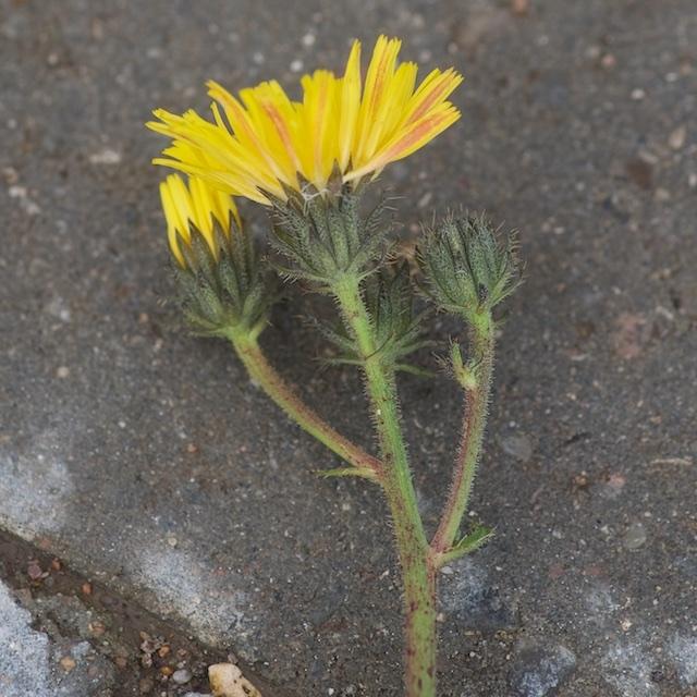 Smalbladet Høgeurt (Hieracium umbellatum)