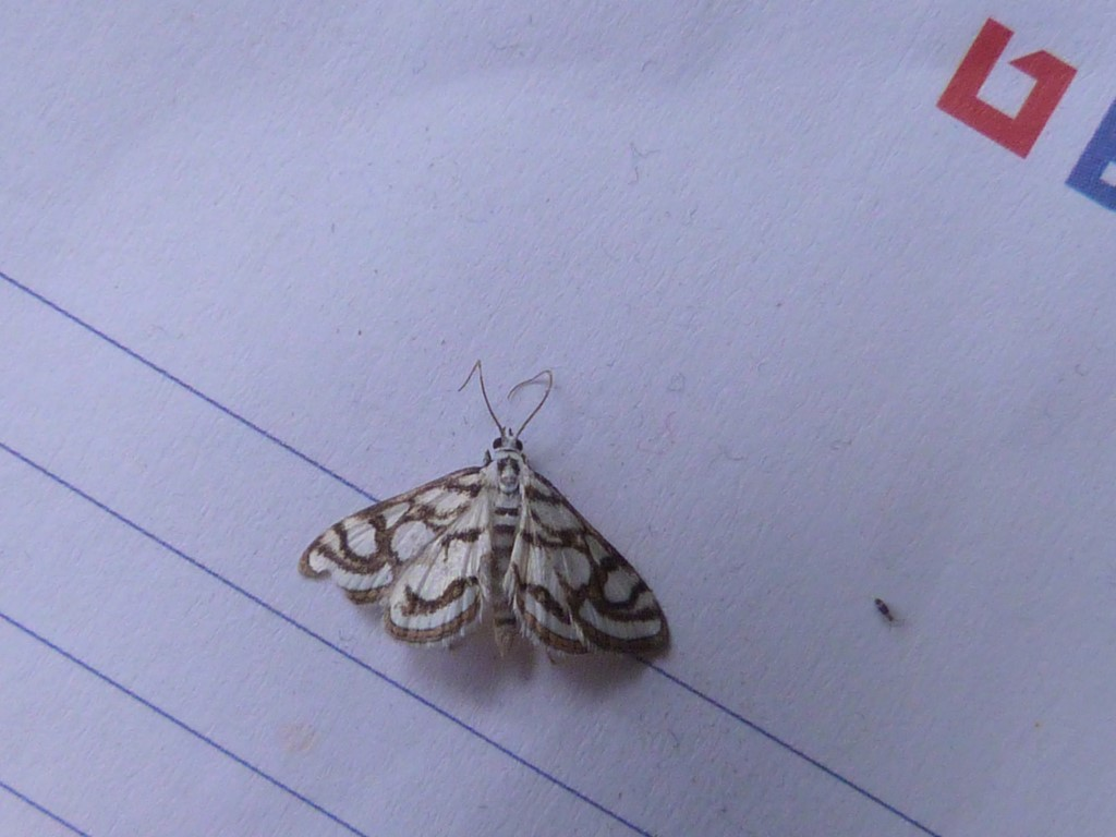 Lille Porcellænsmøl (Nymphula nitidulata)