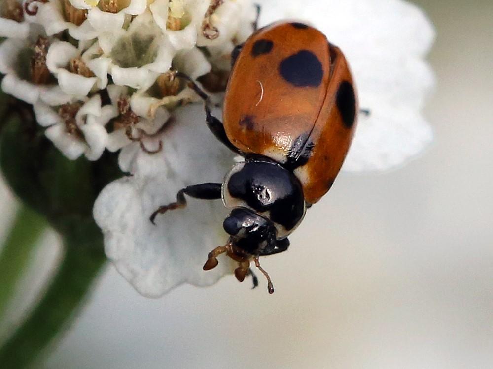 Foto/billede af Adonis Mariehøne (Hippodamia variegata)