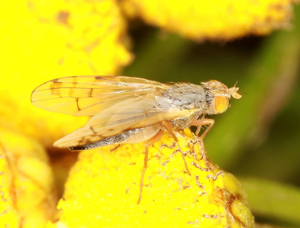 Acanthiophilus helianthi