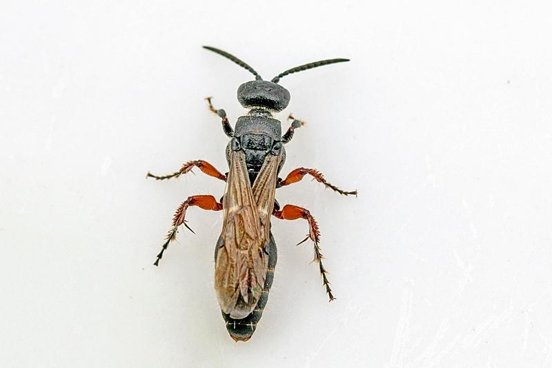 Tiphia sp. (Tiphia sp.)