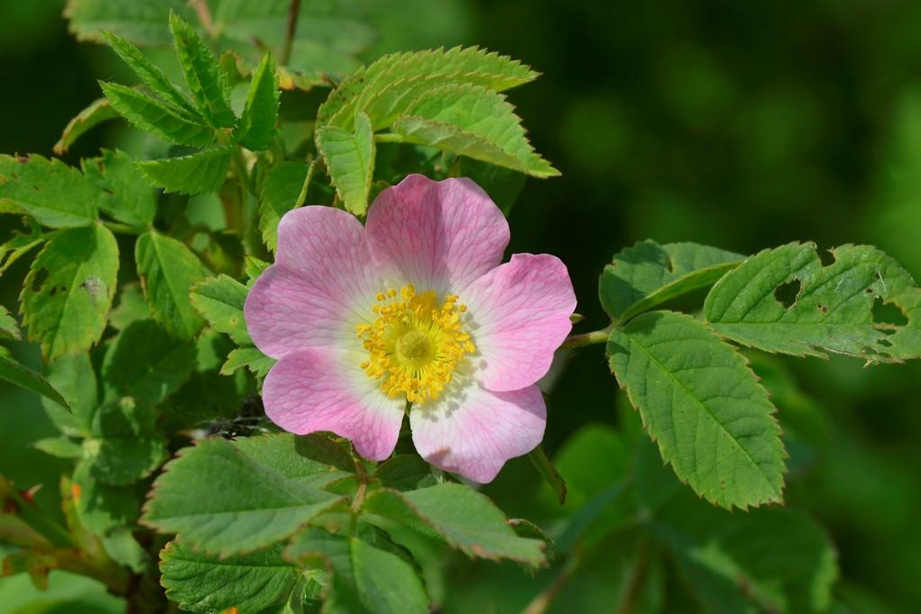 Foto/billede af Spansk Hyben-Rose (Rosa villosa ssp. villosa)