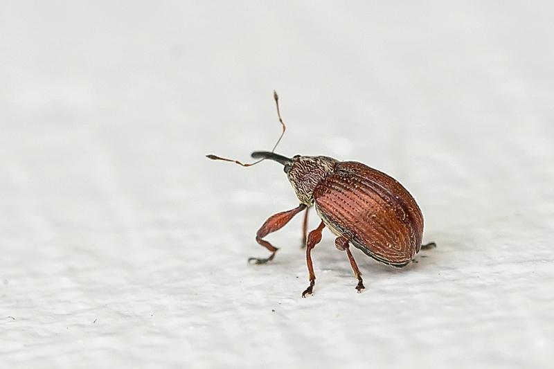 Anthonomus phyllocola