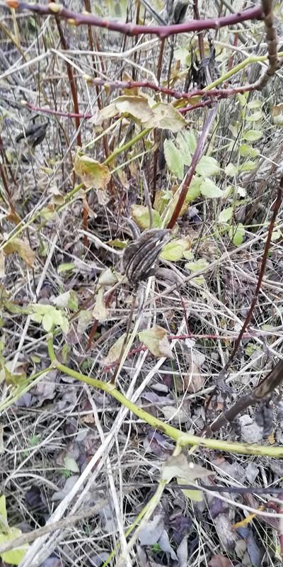 Foto/billede af Sød Astragel (Astragalus glycyphyllos)