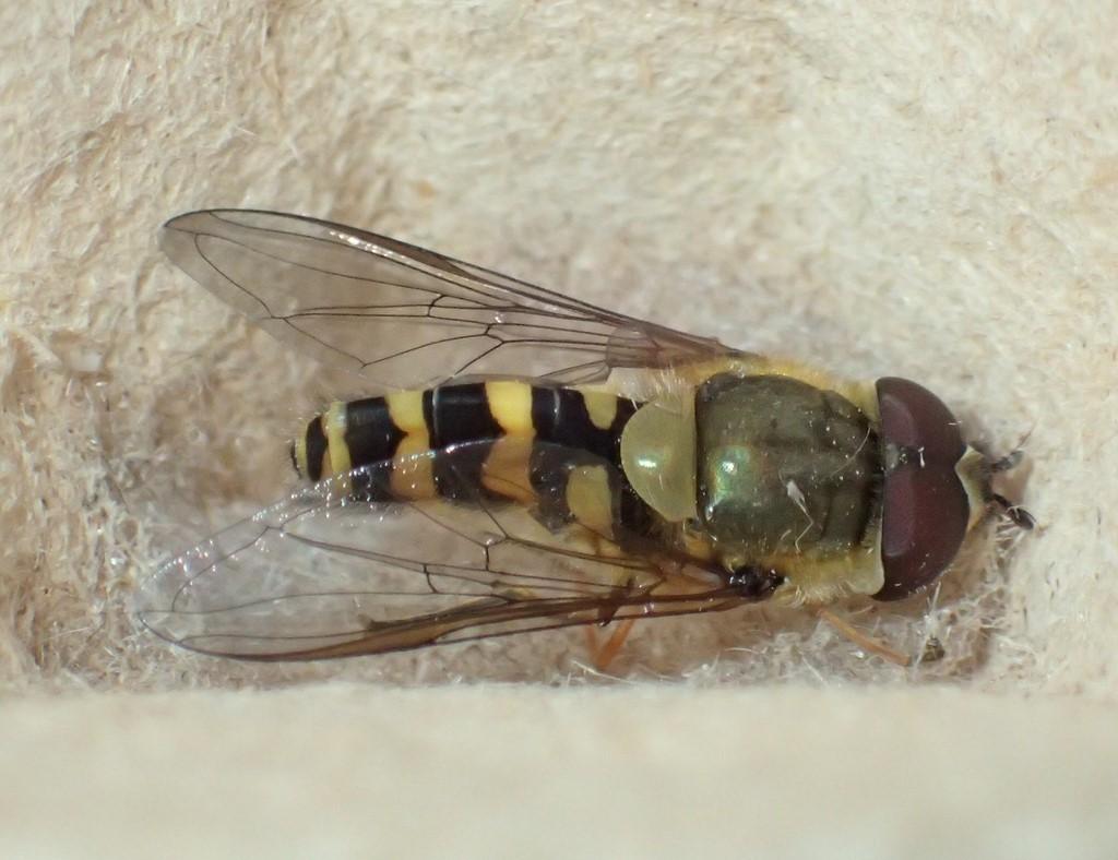 Smuk Glanssvirreflue (Epistrophella euchroma)