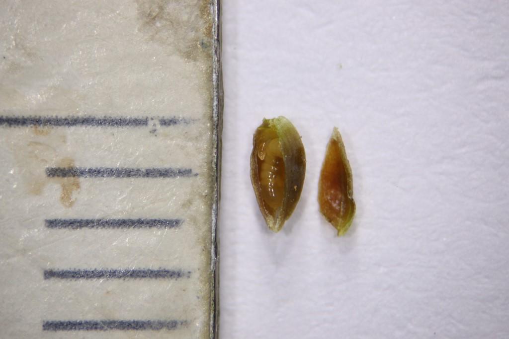 Oligotrophus gemmarum